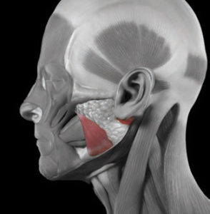 FIGURE 1. The masseter muscles are highlighted In this conceptual image of the facial muscles.